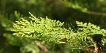 árbol de la vida chino (Thuja orientalis)