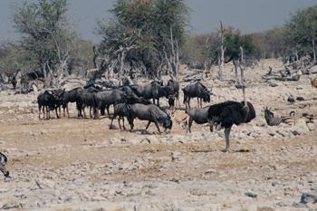 Manada de ñúes, Namibia