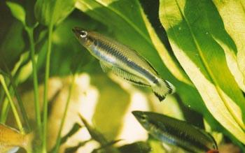 Pez arcoiris (Bedotia sp.)