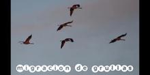 migración de grullas