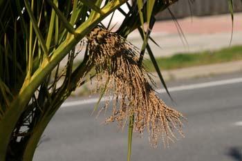 Palmera canaria - Racimos Viejos (Phoenix canariensis)