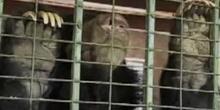 Inde : les ours mendiants