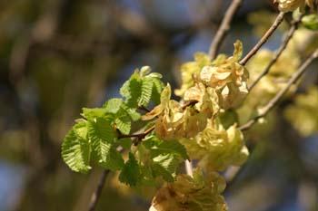 Olmo común - Frutos (Ulmus minor)