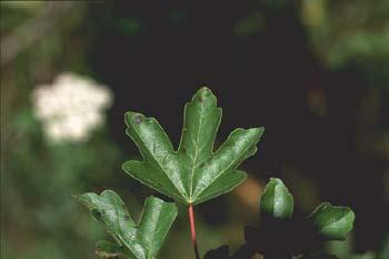 Arce campestre - Hoja (Acer campestris)