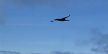 Piquero de patas azules en vuelo, Ecuador
