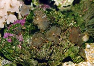 Anémona de disco (Actinodiscus sp.)
