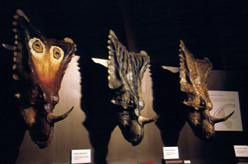 Chasmosaurus (Dinosauria, Ceratopsia), Museo del Jurásico de Ast