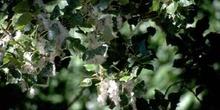 álamo negro - Fruto (Populus nigra)