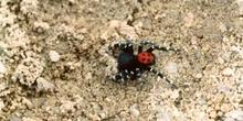 Araña moteada saltadora - Macho (Eresus niger)
