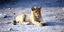 Cría de León en actitud tierna, Botswana