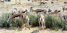 Manada de gacelas, Namibia