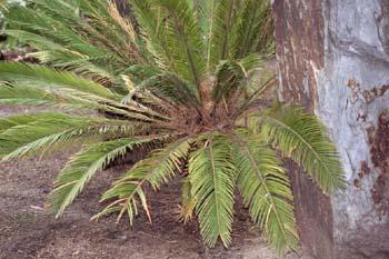 Cicada o Falsa palmera (Cycas sp.)