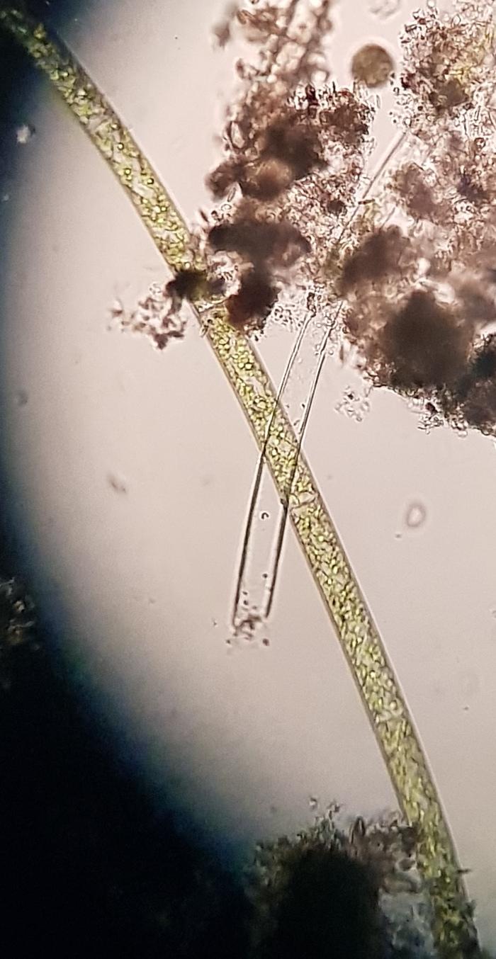 Cerva-R01-01 (Spirogyra)