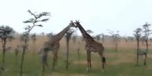 Jirafa (Giraffa camelopardalis. Linnaeus, 1758)