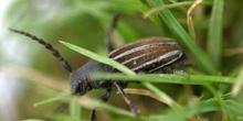 Longicornio zapador (Dorcadion fuliginator)