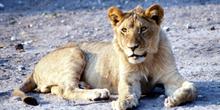 Cachorro de León de frente, Botswana