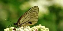 Blanca del Majuelo (Aporia crataegui)