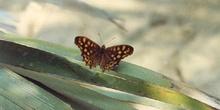 Saltamuros (Pararge aegeria)