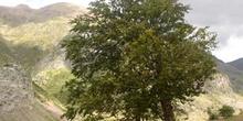 Haya - Porte (Fagus silvatica)