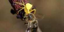 Araña cangrejo amarilla (Thomisus onustus)