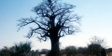 Baobab encantado, Botswana