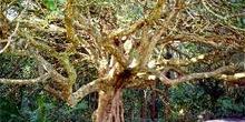 árbol endémico, Isla norte, Nueva Zelanda