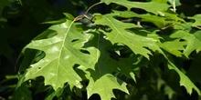 Roble rojo (Quercus shumardii)