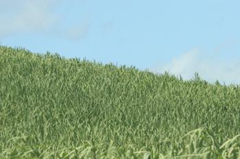 Plantación de caña de azúcar, Pernambuco, Brasil