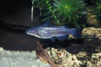 Pez gato (Ictalurus melas)