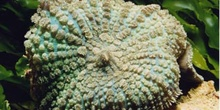 Seta de mar (Discosoma sp.)