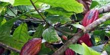 Planta de cacao, Ecuador
