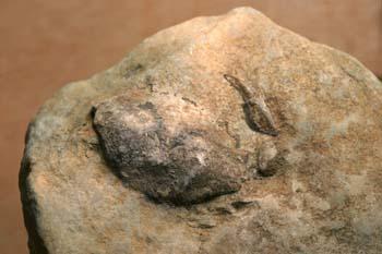 Portunites araucanus (Crustáceo) Oligoceno