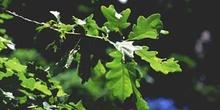 Roble albar - Hoja (Quercus petraea)