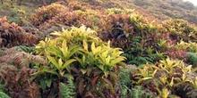 Arbustos de Cacaotillo,Miconia Robinsoniana, Ecuador