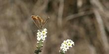 Morena serrana (Aricia agestis cramera)