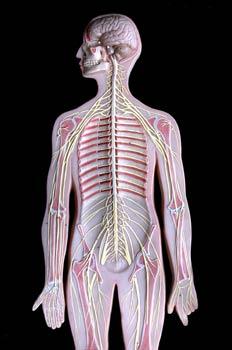 Sistema Nervioso, parte superior