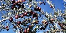 Rama de olivo - Valverde de Leganés, Cáceres