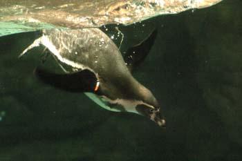Pingüino de Humboldt (Spheniscus humboldti)