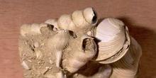 Fondo marino Bivalvos(Molusco-Bivalvo) Mioceno