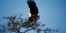 águila pescadora en posición de vuelo, Botswana