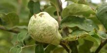 Membrillo - Fruto (Cydonia oblonga)