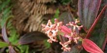 Cacaotillo,Miconia robinsoniana, Ecuador