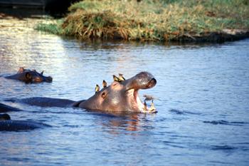 Limpieza de los Picabueyes al hipopótamo, Botswana