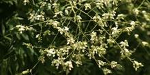 Falsa acacia de Japón - Flor (Sophora japonica)