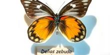 """Mariposa """"Delias cebuda"""""""