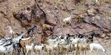 Cabras, Rep. de Djibouti, áfrica