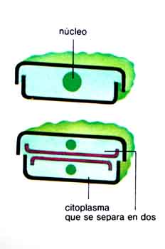 Citoplasma
