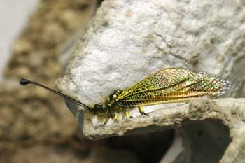 Ascaláfido o falsa libélula (Ascalaphus longicornis)
