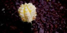 Cactus (Cactaceae de Brasil)