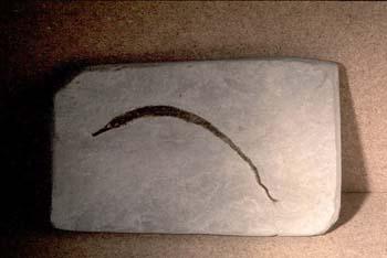 Pez aguja (Pez) Mioceno